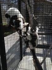 Lemur week 2